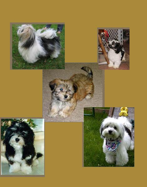Western New York Havanese Club, Havanese, Havanese Puppies